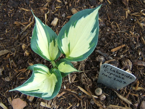 Hosta 'Lakeside Cupcake' - 2008