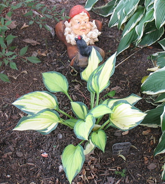 Hosta 'Orange Marmalade' - 2010