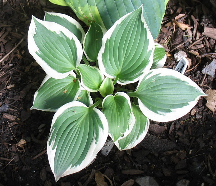 Hosta 'Summer Snow' - 2011