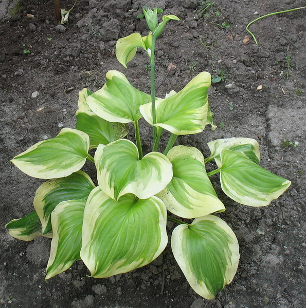 Hosta 'Sweet Innocence' - 2013 - July 23