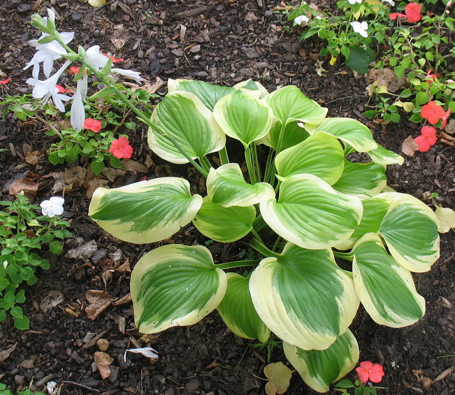 Hosta 'Sweet Innocence' - 2011