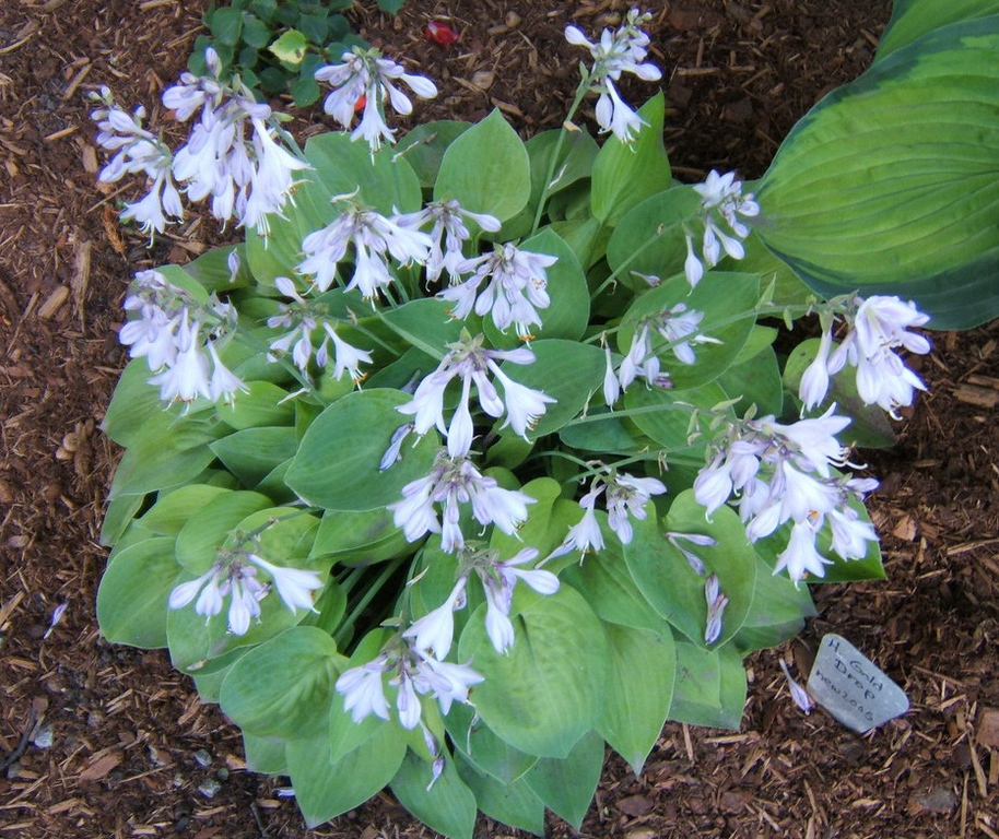 Hosta 'Gold Drop' - 2008 - July 15