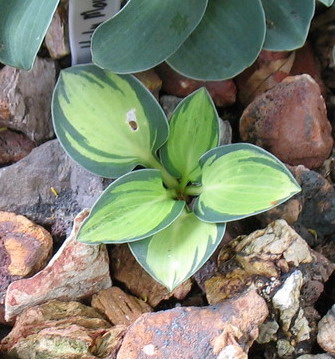 Hosta 'Holy Mouse Ears' - 2010