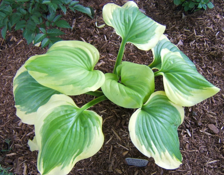 Hosta 'Sweet Innocence' - 2008