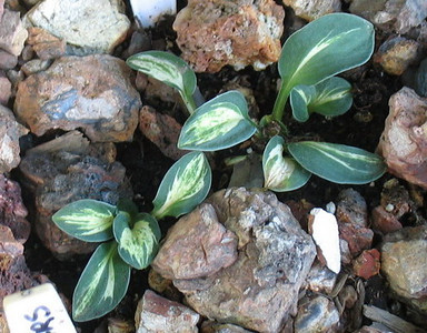 Hosta 'Mouse Trap' - 2013 - July 11