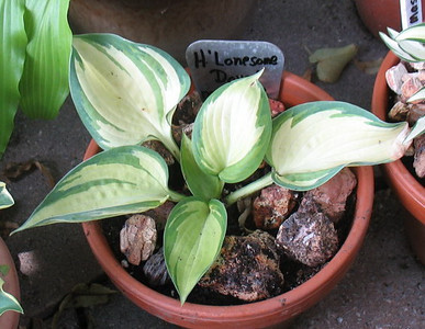 Hosta 'Lonesome Dove'  2013 - June 27