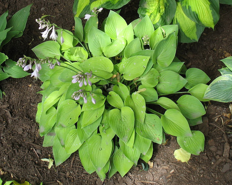 Hosta 'Gold Drop' - 2012 - July 3