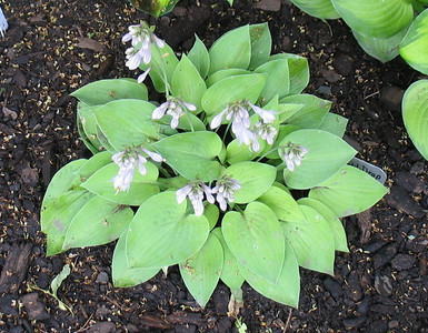 Hosta 'Gold Drop' - 2010