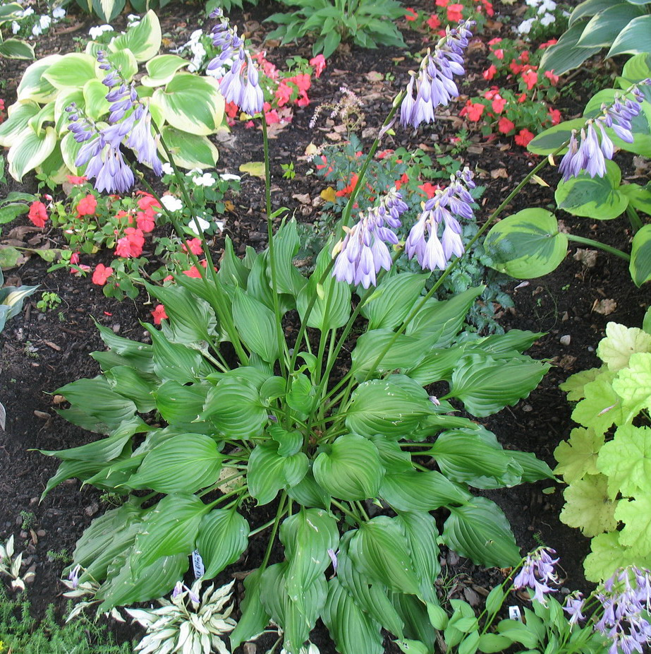 Hosta 'Bridegroom' - 2011