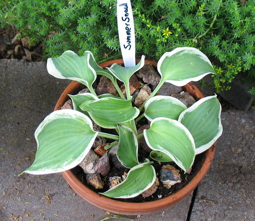 Hosta 'Summer Snow' - 2010