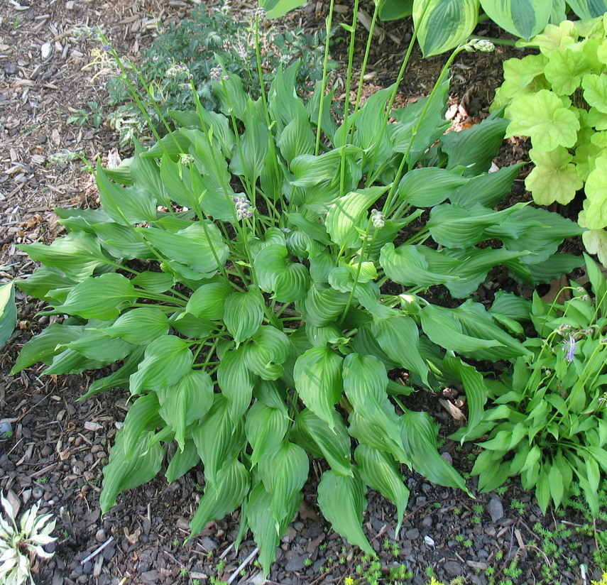 Hosta 'Bridegroom' - 2015 - July 3