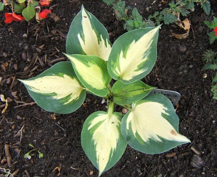 Hosta 'Lakeside Cupcake' - 2009