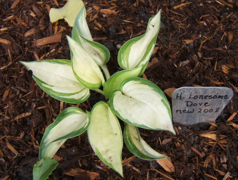 Hosta 'Lonesome Dove'  - 2008