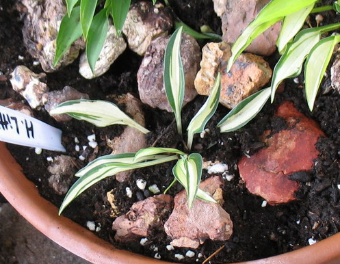 Hosta 'Little Jay'  - 2010