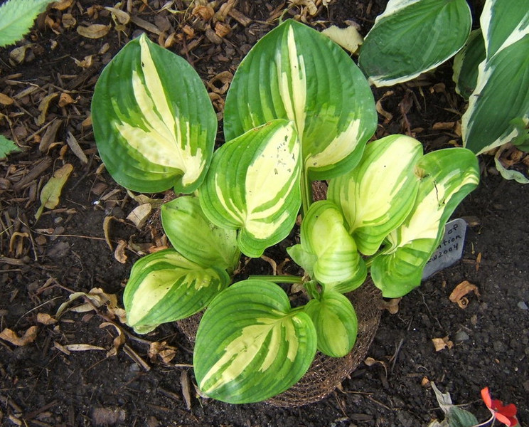 Hosta 'Center of Attention' - 2009