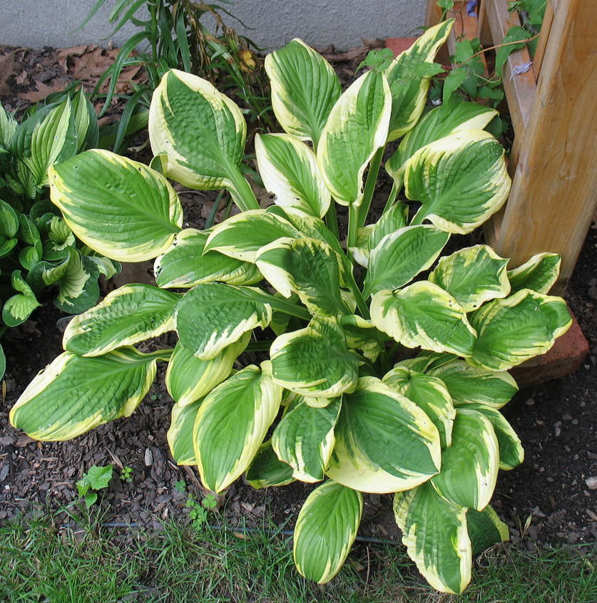 Hosta 'Mack the Knife' - 2014 - July 16