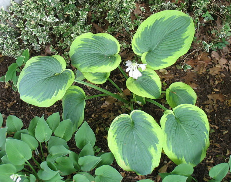 Hosta 'Frances Williams' - 2014 - July 8