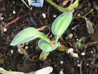 Hosta 'Holy Mouse Ears' - 2012