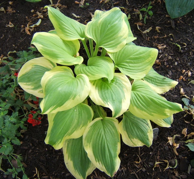 Hosta 'Sweet Innocence' - 2009