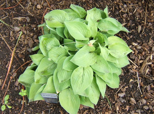 Hosta 'Gold Drop' - 2009 late June