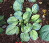 Hosta 'Blue Shadows' - 2008 - Aug. 1