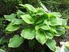 Hosta 'Fragrant Bouquet' - 2012 - June 13