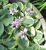 Hosta 'Frosted Mouse Ears' - 2017 - July 9