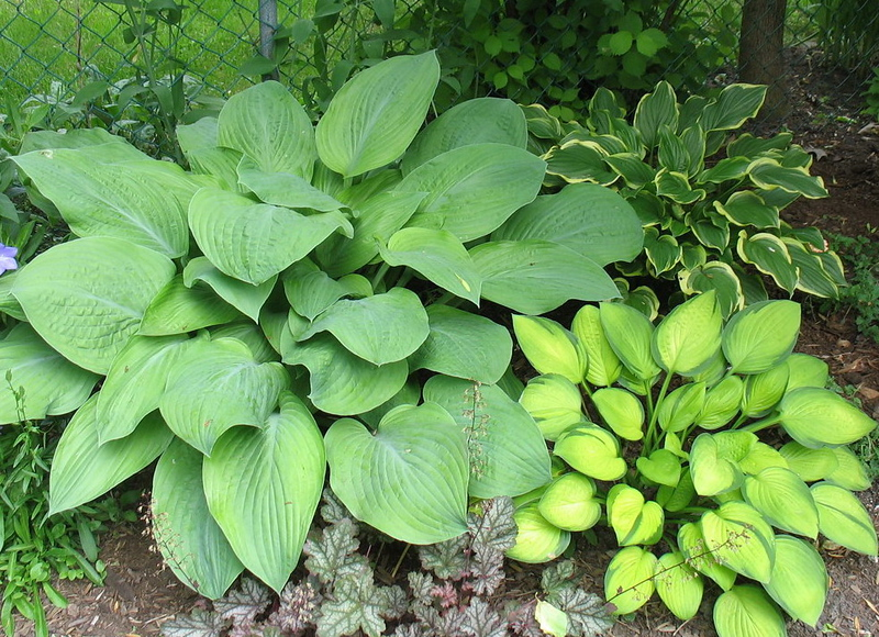 The same group of hostas as above, in 2010