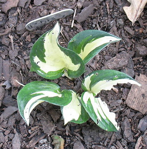 Hosta 'Fire and Ice' - 2013 - July 23