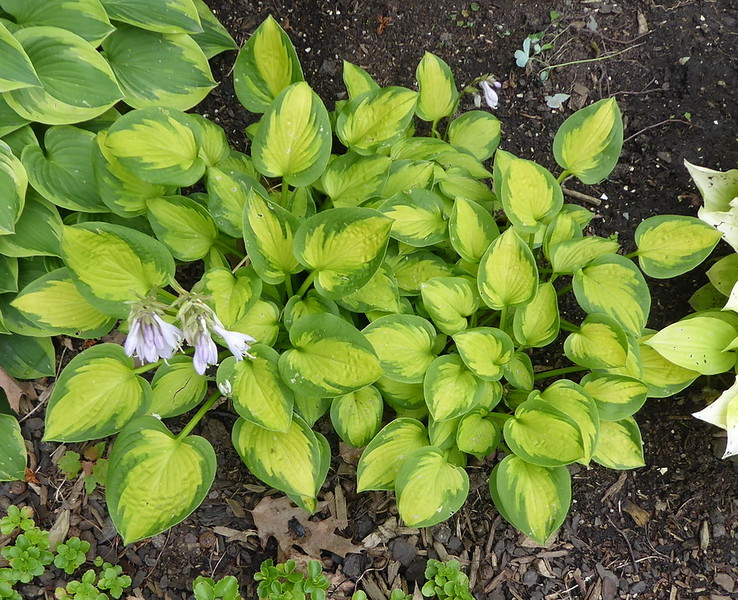 Hosta 'Little Sunspot'  2017 - July 12