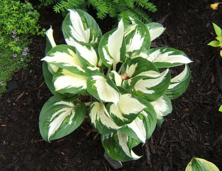 Hosta 'Loyalist' 2009