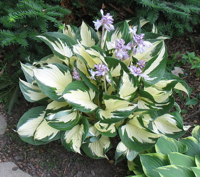 Hosta 'Loyalist'  2011