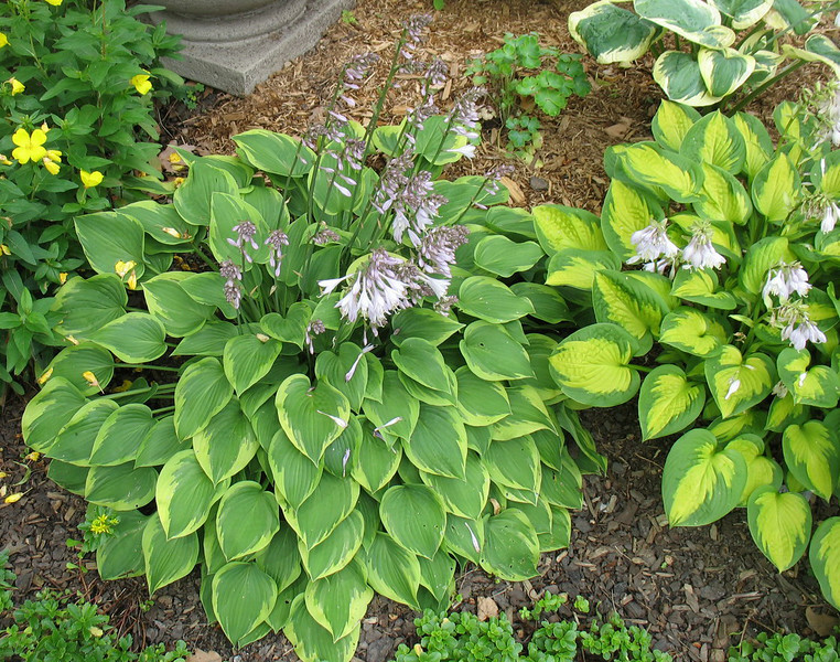 Hosta 'Little Sunspot'  and Hosta 'Warwick Curtsey'  2014 - July 8