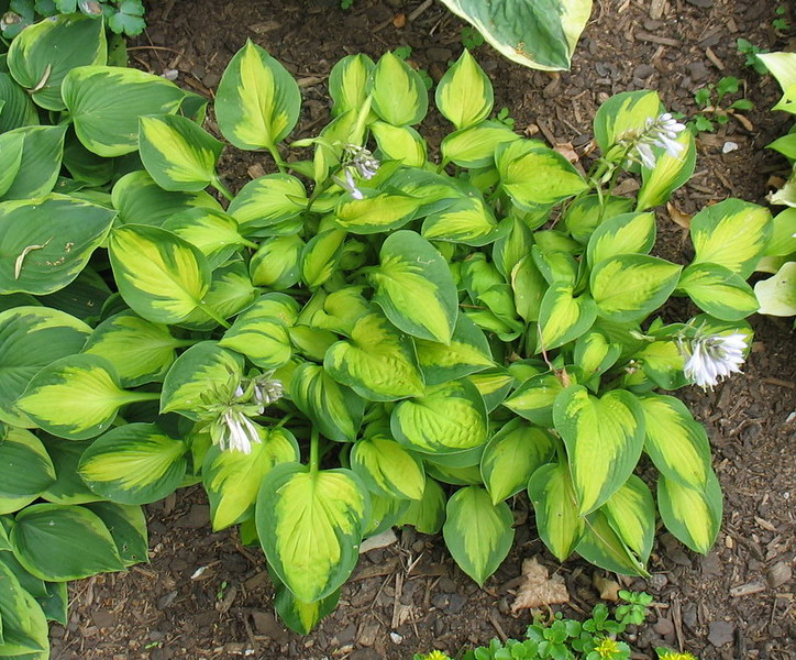 Hosta 'Little Sunspot'  2016 - July 7