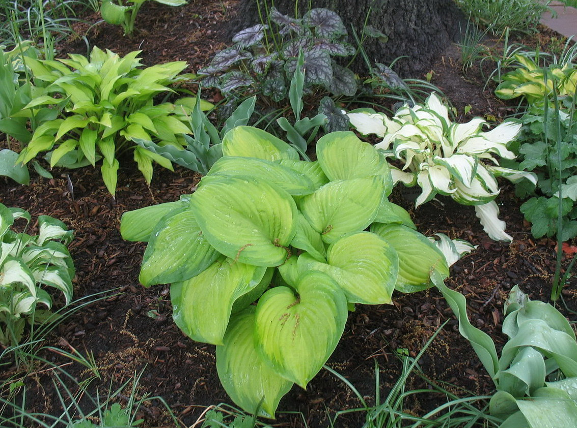 Hostas on the south side of my oak, 2011.