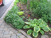 The hostas along my driveway - mid June 2013