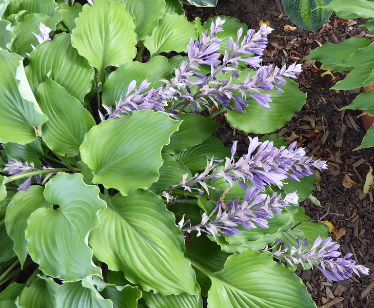 Hosta 'Marilyn Monroe' - 2016 - Sept.  27