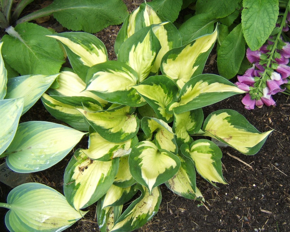 Hosta 'Morning Light' - 2008 - June 17