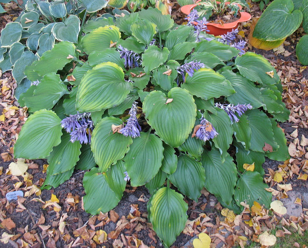 Hosta 'Marilyn Monroe' - 2013 - September 30
