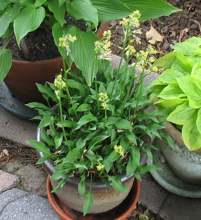 Hosta 'Tears of Joy' - 2016 - June 28