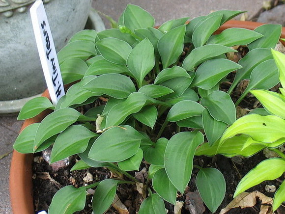 Hosta 'Tiny Tears' (chibai) - 2011