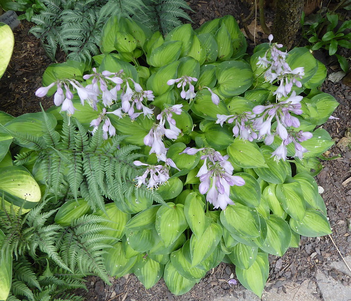Hosta 'Tick Tock' - 2017 - July 19