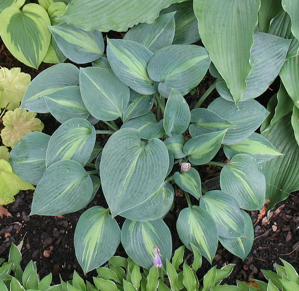 Hosta 'Touch of Class' - 2014 - July 27