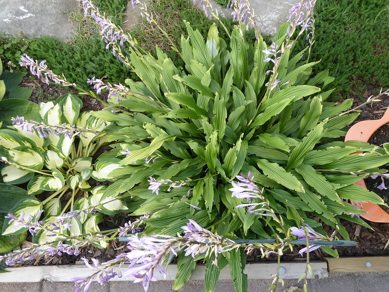 Hosta 'The Razor's Edge' - 2016 - Sept. 5