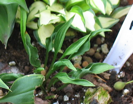 Hosta 'Tears of Joy' - 2010