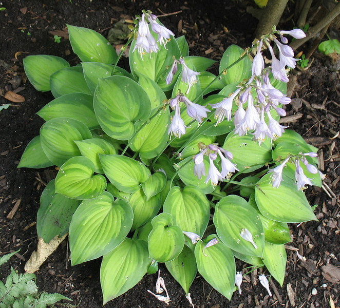 Hosta 'Tick Tock' - 2011
