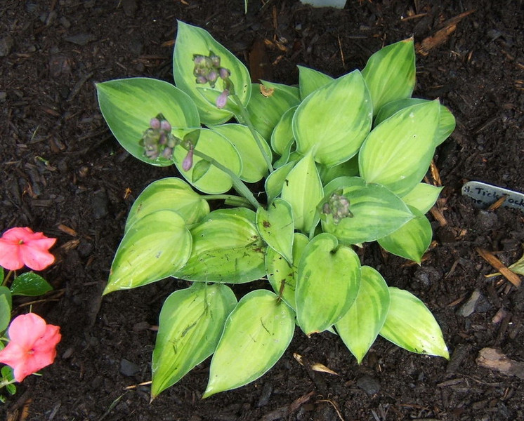 Hosta 'Tick Tock' - 2009