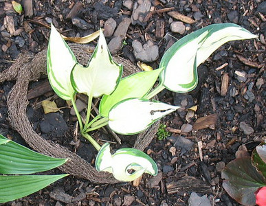 Hosta 'Twisting the Night Away' - 2014 - July 8