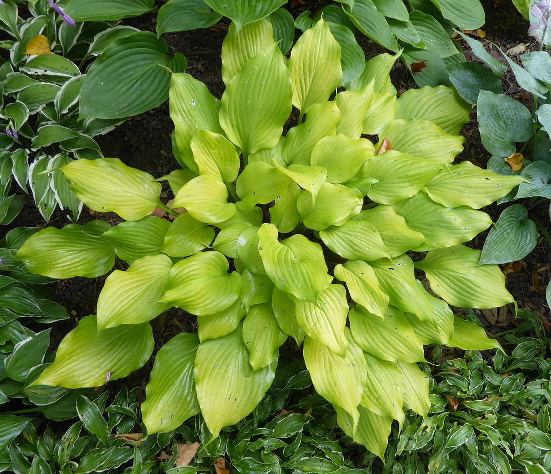 Hosta 'Tickle Me Pink' - 2017 - Aug. 15