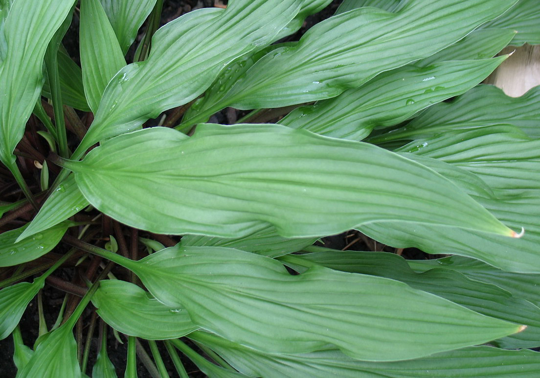 Hosta 'The Razor's Edge' - 2014 - June 18